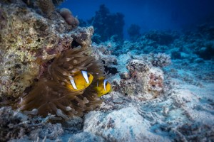 FOTOTAPETY CLOWN FISH 03