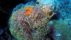 FOTOTAPETY CLOWN FISH 02