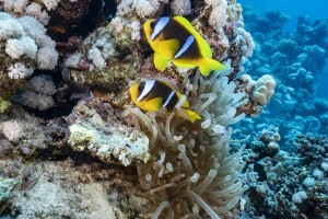FOTOTAPETY CLOWN FISH 01