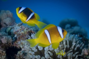WYDRUKI DIBOND CLOWN FISH ALBUM 05